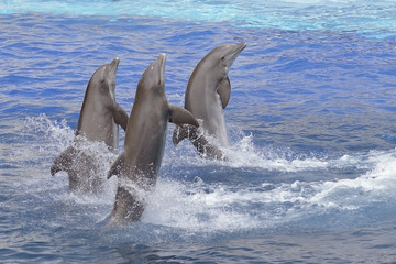 Wall Mural - Three bottlenose dolphins (Tursiops truncatus) standing out of the water