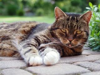 Kot Europejski o maści tygrysa w ogrodzie domowym