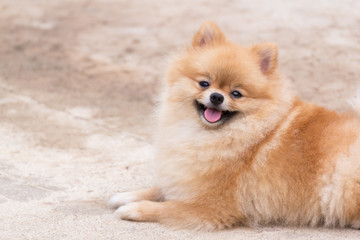 Orange pomeranian smile sitting at outdoor.