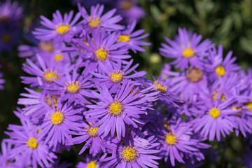 Violet alpine asters blooming in the garden. Decorative plant with purple flowers. (Aster alpinus)