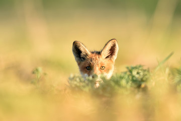 Red fox kit at the sun. Red fox puppy. Little fox. Summer.