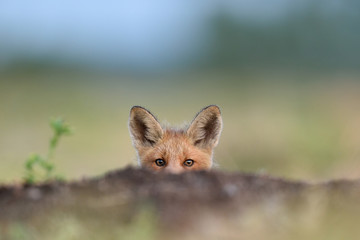 Red fox kit. Red fox puppy. Juvenile red fox. Red fox pup. Little fox.