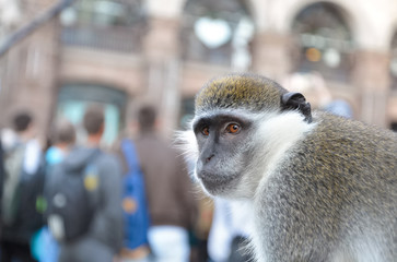 Pet monkey (male) watches crowd on the street while his owner is inviting people to be photographed with the animal.