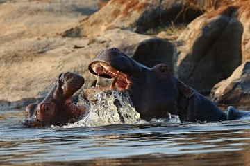 Wall Mural - Hippos fight in the beautiful nature habitat, this is africa, african wildlife, endangered species, green lake
