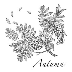 Rowanberry branch. BW sketch