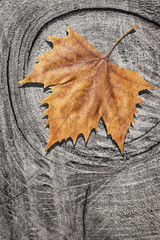 Dray Maple Leaf On Rotten Cracked Stump Background