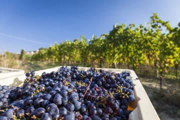 Grape harvest in a vineyard. Blue sky background  Fototapete