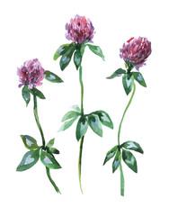Луг розовый клевер трилистник. Набор акварельных цветов, изолированных на белом фоне.