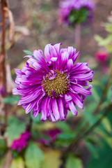 Purple flower of an aster