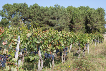Grapes-Bordeaux Wineyard autumn