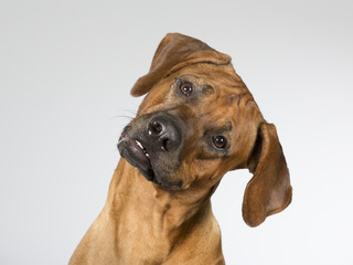 Cute dog is turning it's head funny. The dog breed is Rhodesian dog. Image taken in a studio.