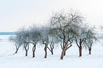 Landscape with bare and hoarfrosted apple trees in the garden in winter time