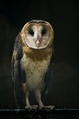 Close up of owl against black background