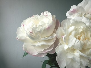 Close-Up Of White Rose Against Gray Wall
