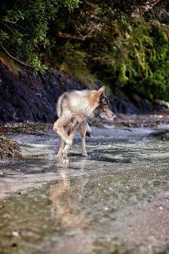 Full Length Of Wolfdog On Shore