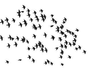 flock of birds isolated on white background, starlings