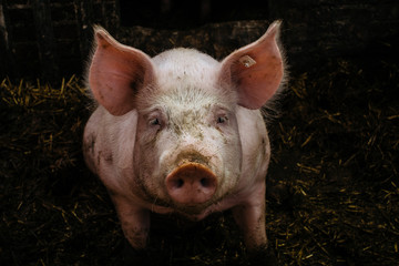 Close-Up Portrait Of Messy Pig