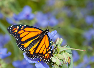 Dorsal view of a Monarch butterfly on a beautiful blue Spiderwort flower