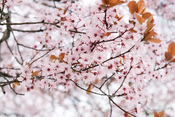 Cherry tree with its leaves and flowers