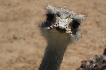 ostrich head closeup, funny face of a strauss