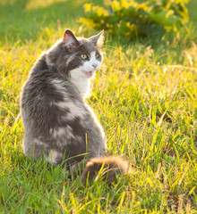 Diluted calico cat in grass lit by evening sun