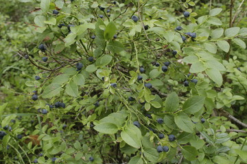 small blueberries on a green background