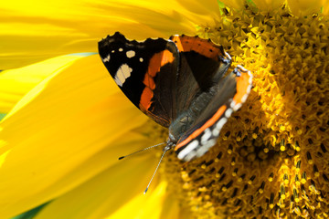 A dark butterfly with red and white spots close up sitting on a bright yellow blossoming sunflower in the summer