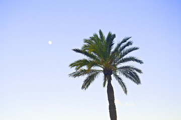 palm tree in the Barceloneta of Barcelona, Spain