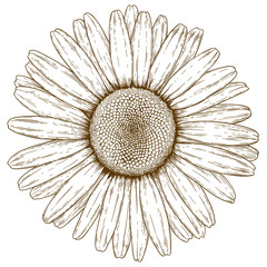 engraving illustration of chamomile
