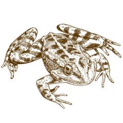 engraving illustration of frog