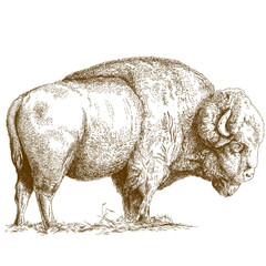 engraving  illustration of bison