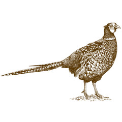 engraving illustration of pheasant
