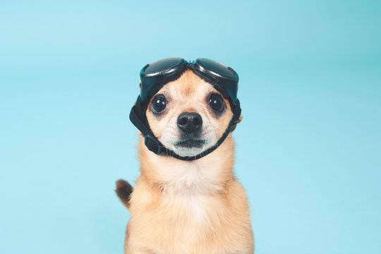 surprised chihuahua dog wearing pilot goggles