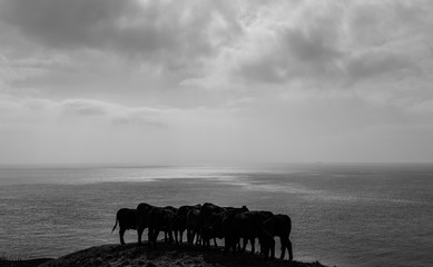 Young cattle grazing near the coast on the Isle of Wight, England