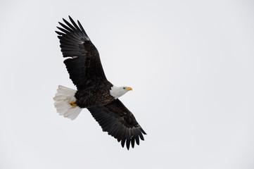 Garden Poster Eagle Adult Bald Eagle Soaring Overhead