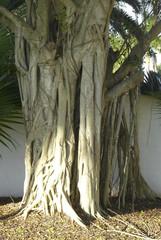 Florida Strangler Fig on Host Tree