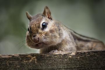 wild chipmunk on a cottage deck
