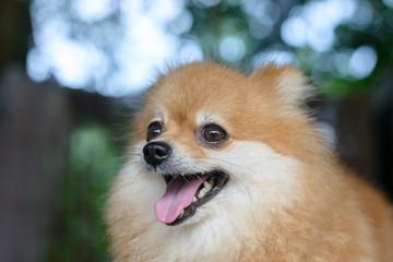 Portrait of cute pomeranian dog