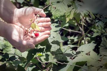 picking wild raspberries in summer