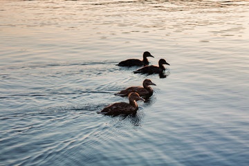 silhouette of ducks in a row on the water
