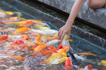 Hand in feed colorful fancy carp fish .