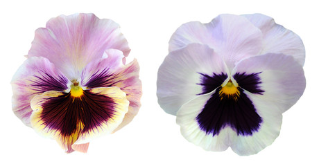 Papiers peints Pansies pansy flower