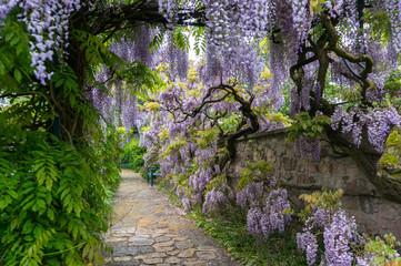 Wistaria garden