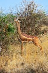 Fototapete - Giraffidae antelope gerenuk