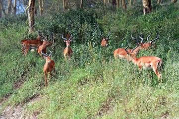Fototapete - Antelope Impala in the bush