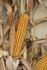 cobs and corn in the farm