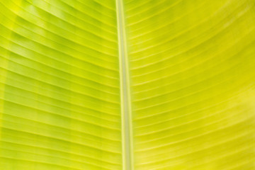 background texture of green banana leaf for your design