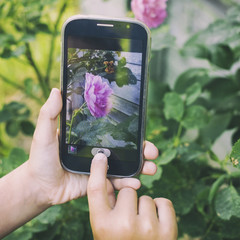 Child using hand takes pictures on cellphone red rose at sunset, on the background of greenery