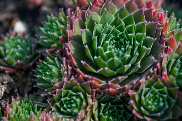 succulents in the garden close-up