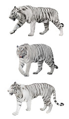 isolated three white striped tigers